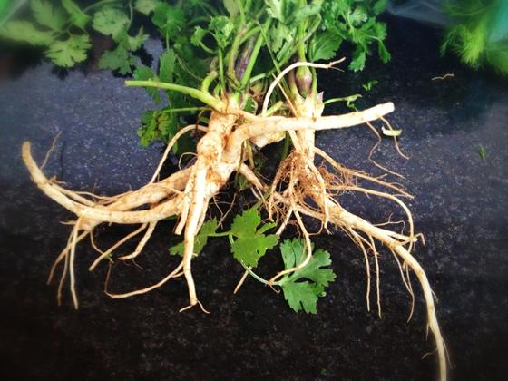 raiz de cilantro
